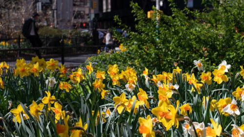 The Daffodil Project NYC