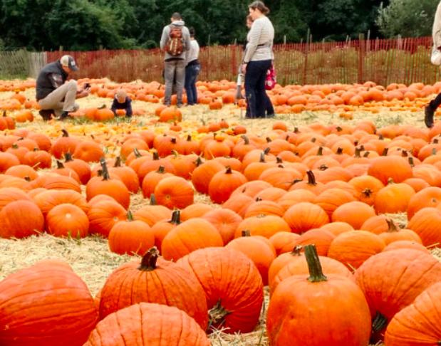 Queens County Farm Pumpkin Patch